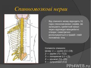 Спинномозкові нерви Сегменти спинного мозку: 1 — шийні (С1–С8); 2 — грудні (Т1–Т