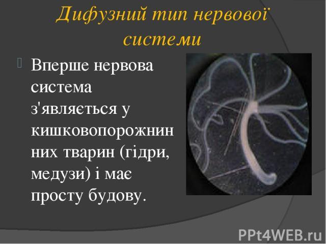 Дифузний тип нервової системи Вперше нервова система з'являється у кишковопорожнинних тварин (гідри, медузи) і має просту будову.