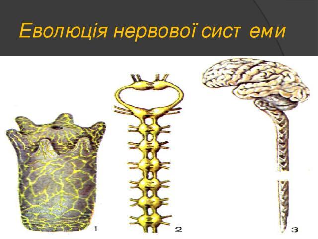 Еволюція нервової системи