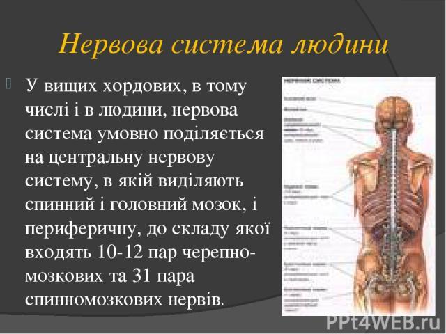 Нервова система людини У вищих хордових, в тому числі і в людини, нервова система умовно поділяється на центральну нервову систему, в якій виділяють спинний і головний мозок, і периферичну, до складу якої входять 10-12 пар черепно-мозкових та 31 пар…