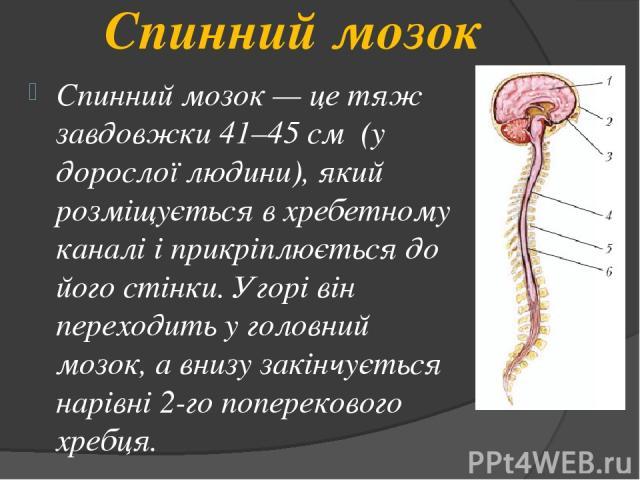 Спинний мозок Спинний мозок — це тяж завдовжки 41–45 см (у дорослої людини), який розміщується в хребетному каналі і прикріплюється до його стінки. Угорі він переходить у головний мозок, а внизу закінчується нарівні 2-го поперекового хребця.