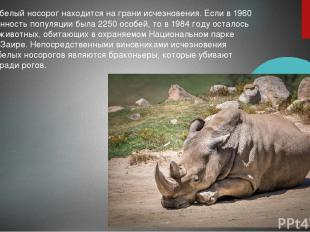 Северный белый носорог находится на грани исчезновения. Если в 1960 году численн