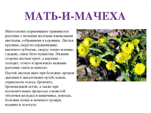МАТЬ-И-МАЧЕХА Многолетнее корневищное травянистое растение с мелкими желтыми язычковыми цветками, собранными в корзинки. Листья крупные, округло-сердцевидные, выемчато-зубчатые, сверху темно-зеленые, гладкие, снизу бело-пушистые. Нижняя сторона лист…