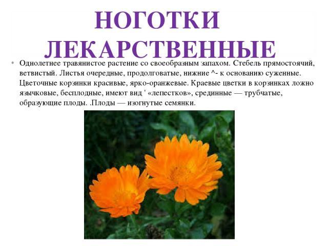 НОГОТКИ ЛЕКАРСТВЕННЫЕ Однолетнее травянистое растение со своеобразным запахом. Стебель прямостоячий, ветвистый. Листья очередные, продолговатые, нижние ^- к основанию суженные. Цветочные корзинки красивые, ярко-оранжевые. Краевые цветки в корзинках …