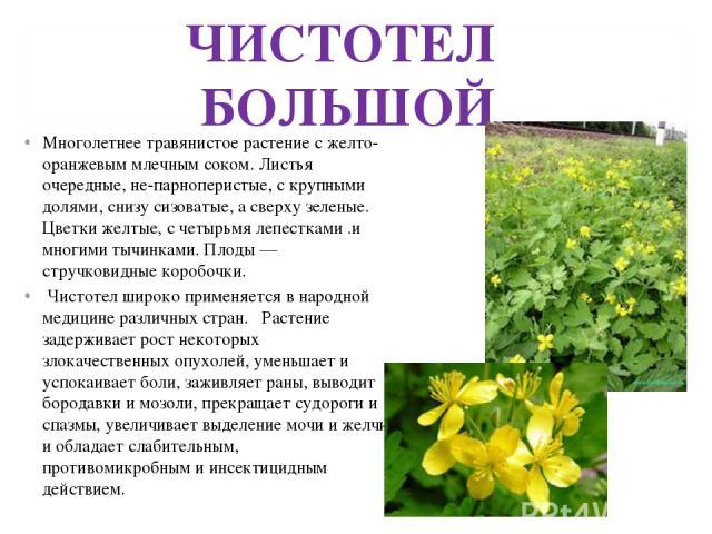 ЧИСТОТЕЛ БОЛЬШОЙ Многолетнее травянистое растение с желто-оранжевым млечным соком. Листья очередные, не-парноперистые, с крупными долями, снизу сизоватые, а сверху зеленые. Цветки желтые, с четырьмя лепестками .и многими тычинками. Плоды — стручкови…
