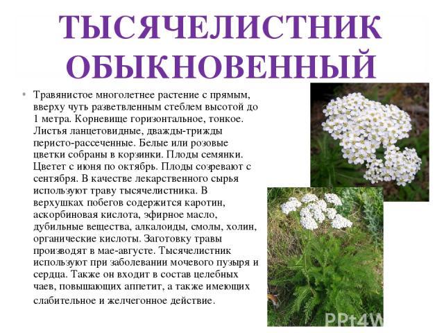 ТЫСЯЧЕЛИСТНИК ОБЫКНОВЕННЫЙ Травянистое многолетнее растение с прямым, вверху чуть разветвленным стеблем высотой до 1 метра. Корневище горизонтальное, тонкое. Листья ланцетовидные, дважды-трижды перисто-рассеченные. Белые или розовые цветки собраны в…