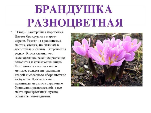 БРАНДУШКА РАЗНОЦВЕТНАЯ Плод – заостренная коробочка. Цветет брандушка в марте-апреле. Растет на травянистых местах, степях, по склонам в лесостепях и степях. Встречается редко. К сожалению, это замечательное весеннее растение относится к исчезающим …