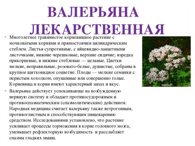 ВАЛЕРЬЯНА ЛЕКАРСТВЕННАЯ Многолетнее травянистое корневищное растение с мочковатыми корнями и прямостоячим цилиндрическим стеблем. Листья супротивные, с яйцевидно-ланцетными листочками, нижние черешковые, верхние сидячие; изредка прикорневые, и нижни…