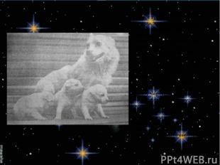 А как же складывались судьбы собак – покорителей космоса? Так вот трижды побывав