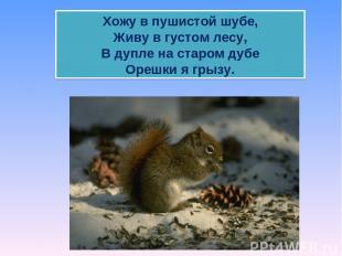 Хожу в пушистой шубе, Живу в густом лесу, В дупле на старом дубе Орешки я грызу.