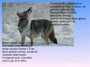 Логово волки устраивают в расщелинах скал, в нишах, на склонах оврагов, под выве