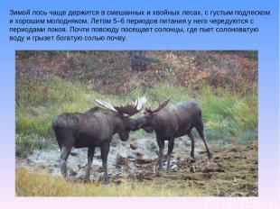 Зимой лось чаще держится в смешанных и хвойных лесах, с густым подлеском и хорош