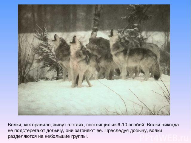 Волки, как правило, живут в стаях, состоящих из 6-10 особей. Волки никогда не подстерегают добычу, они загоняют ее. Преследуя добычу, волки разделяются на небольшие группы.