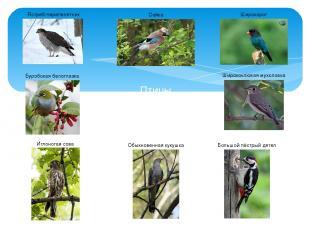 Птицы широколиственных лесов Сойка Иглоногая сова Ястреб-перепелятник Буробокая