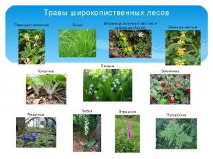 Травы широколиственных лесов Первоцвет весенний Осока Ландыш Зеленчук жёлтый Коп