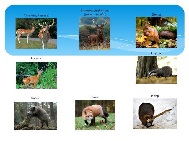 Животные широколиственных лесов Благородный олень (марал, изюбр) Косуля Пятнистый олень Кабан Белка Бобр Лиса Барсук