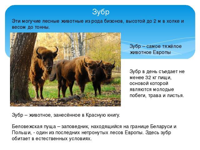 Зубр Эти могучие лесные животные из рода бизонов, высотой до 2 м в холке и весом до тонны. Зубр – самое тяжёлое животное Европы Зубр в день съедает не менее 32 кг пищи, основой которой являются молодые побеги, трава и листья. Зубр – животное, занесё…