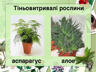 Тіньовитривалі рослини аспарагус алое