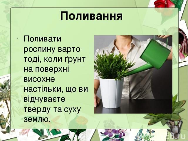 Поливання Поливати рослину варто тоді, коли ґрунт на поверхні висохне настільки, що ви відчуваєте тверду та суху землю.