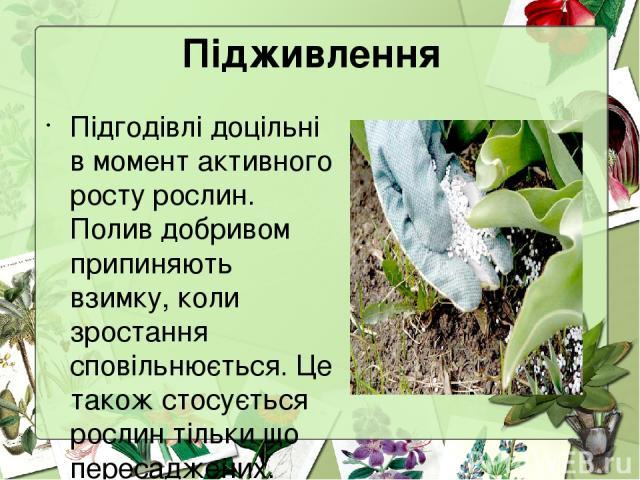 Підживлення Підгодівлі доцільні в момент активного росту рослин. Полив добривом припиняють взимку, коли зростання сповільнюється. Це також стосується рослин тільки що пересаджених.