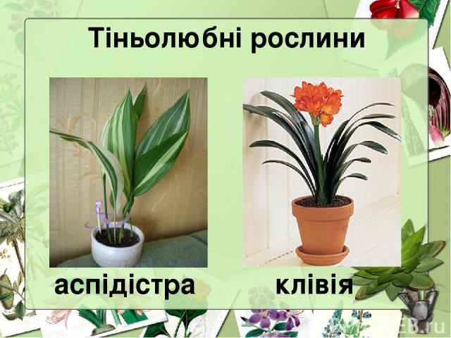 Тіньолюбні рослини аспідістра клівія