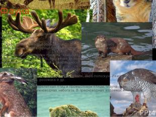Фауна В зоне тундр водятся северный олень, полярный заяц, песец и оригинальный