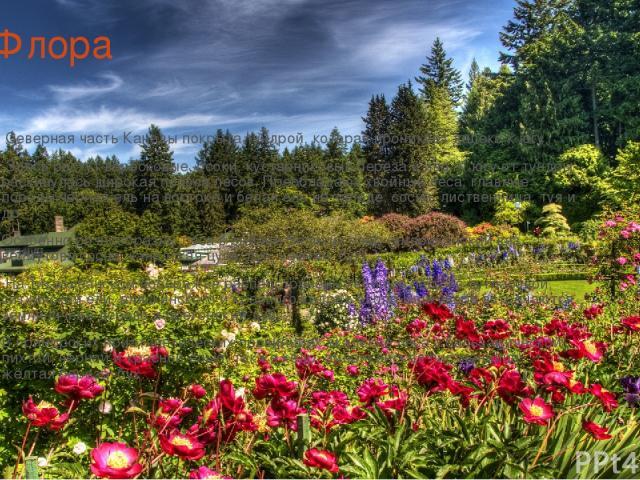 Флора Северная часть Канады покрыта тундрой, которая проникает далеко к югу. Здесь растут вересковые, осоки, кустарниковые береза и ива. К югу от тундры раскинулась широкая полоса лесов. Преобладают хвойные леса; главные породы чёрная ель на восток…