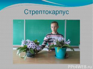 Стрептокарпус
