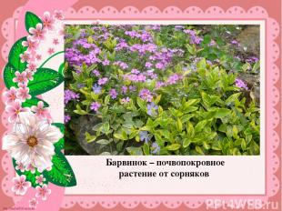 Барвинок – почвопокровное растение от сорняков