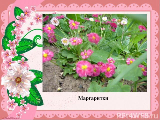 Маргаритки