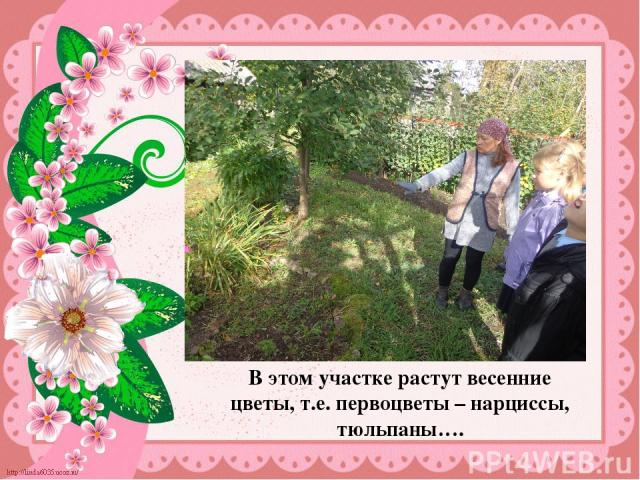 В этом участке растут весенние цветы, т.е. первоцветы – нарциссы, тюльпаны…. В этом участке растут весенние цветы, т.е. первоцветы – нарциссы, тюльпаны….