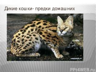 Дикие кошки- предки домашних