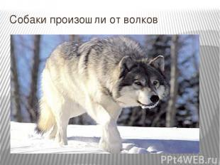 Собаки произошли от волков