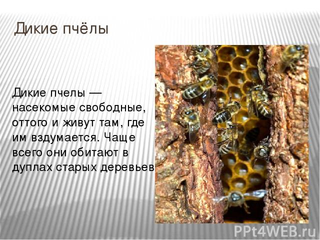 Дикие пчёлы Дикие пчелы — насекомые свободные, оттого и живут там, где им вздумается. Чаще всего они обитают в дуплах старых деревьев