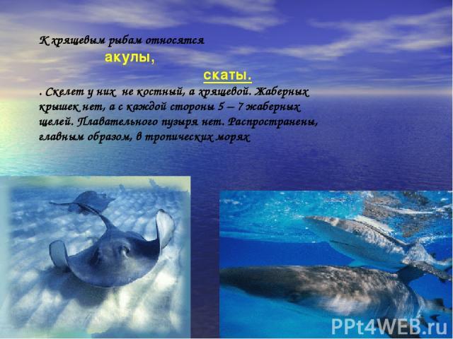 К хрящевым рыбам относятся акулы, скаты. . Скелет у них не костный, а хрящевой. Жаберных крышек нет, а с каждой стороны 5 – 7 жаберных щелей. Плавательного пузыря нет. Распространены, главным образом, в тропических морях