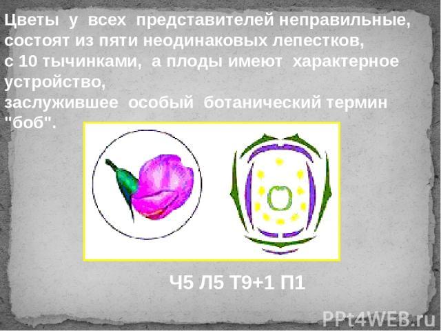 Цветы у всех представителей неправильные, состоят из пяти неодинаковых лепестков, с 10 тычинками, а плоды имеют характерное устройство, заслужившее особый ботанический термин