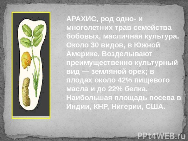 АРАХИС, род одно- и многолетних трав семейства бобовых, масличная культура. Около 30 видов, в Южной Америке. Возделывают преимущественно культурный вид — земляной орех; в плодах около 42% пищевого масла и до 22% белка. Наибольшая площадь посева в Ин…