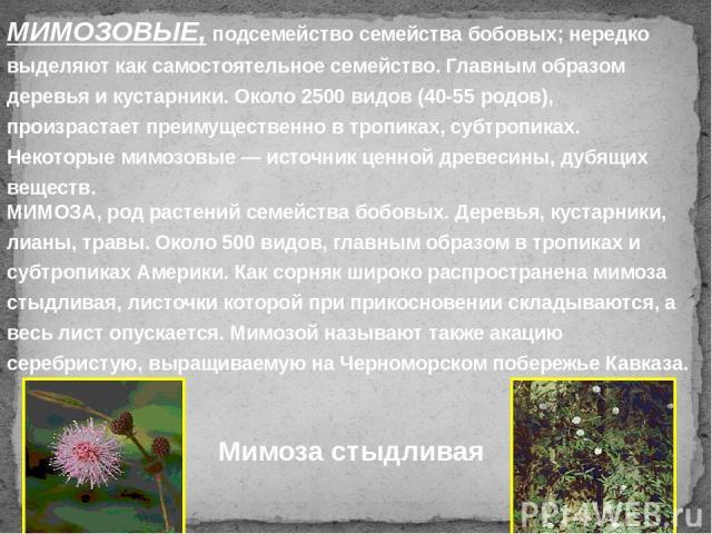 МИМОЗОВЫЕ, подсемейство семейства бобовых; нередко выделяют как самостоятельное семейство. Главным образом деревья и кустарники. Около 2500 видов (40-55 родов), произрастает преимущественно в тропиках, субтропиках. Некоторые мимозовые — источник цен…