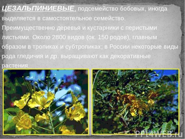 ЦЕЗАЛЬПИНИЕВЫЕ, подсемейство бобовых, иногда выделяется в самостоятельное семейство. Преимущественно деревья и кустарники с перистыми листьями. Около 2800 видов (ок. 150 родов), главным образом в тропиках и субтропиках; в России некоторые виды рода …