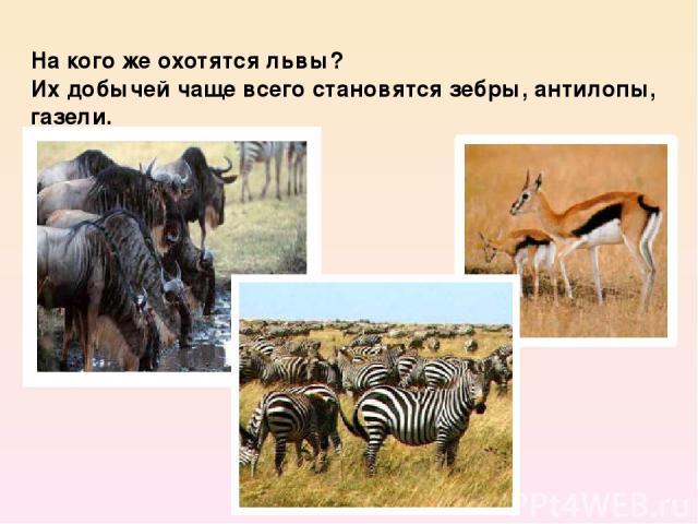 На кого же охотятся львы? Их добычей чаще всего становятся зебры, антилопы, газели.
