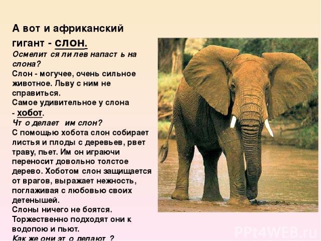А вот и африканский гигант -слон. Осмелится ли лев напасть на слона? Слон - могучее, очень сильное животное. Льву с ним не справиться. Самое удивительное у слона -хобот. Что делает им слон? С помощью хобота слон собирает листья и плоды с деревь…