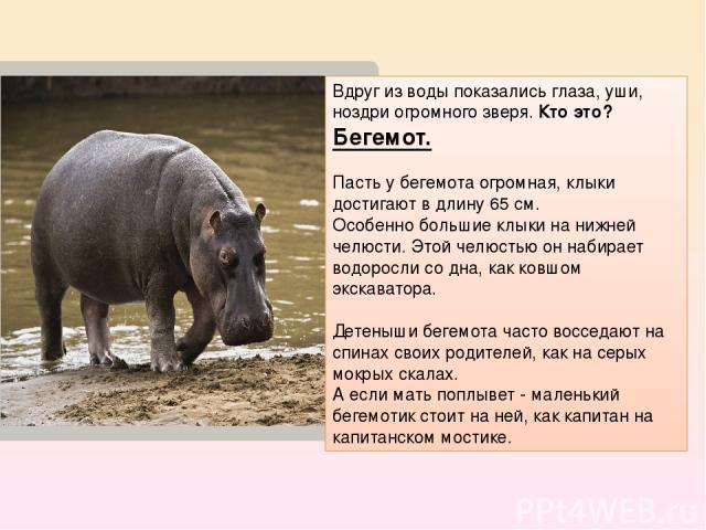 Вдруг из воды показались глаза, уши, ноздри огромного зверя. Кто это? Бегемот. Пасть у бегемота огромная, клыки достигают в длину 65 см. Особенно большие клыки на нижней челюсти. Этой челюстью он набирает водоросли со дна, как ковшом экскаватора. Де…