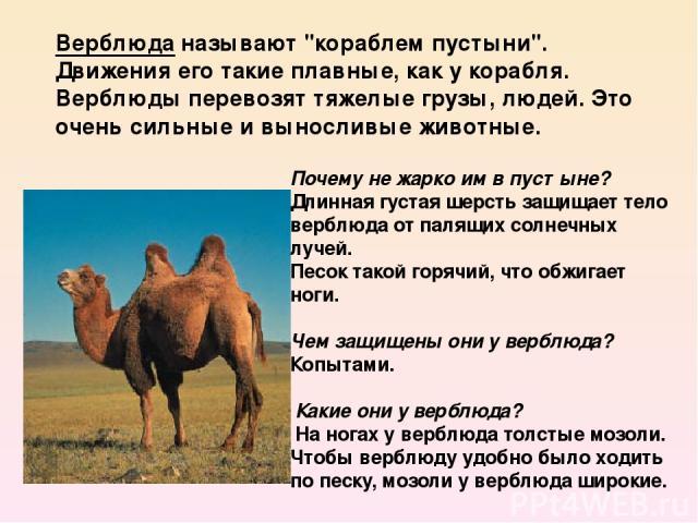 Почему не жарко им в пустыне? Длинная густая шерсть защищает тело верблюда от палящих солнечных лучей. Песок такой горячий, что обжигает ноги. Чем защищены они у верблюда? Копытами. Какие они у верблюда? На ногах у верблюда толстые мозоли. Чтобы…