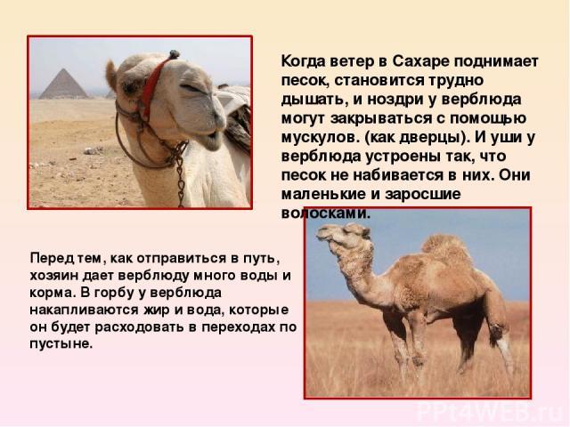 Перед тем, как отправиться в путь, хозяин дает верблюду много воды и корма. В горбу у верблюда накапливаются жир и вода, которые он будет расходовать в переходах по пустыне. Когда ветер в Сахаре поднимает песок, становится трудно дышать, и ноздри у …