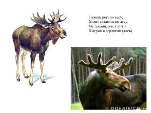 Тяжелы рога по весу, Ходит важно он по лесу: Он хозяин, а не гость – Хмурый и