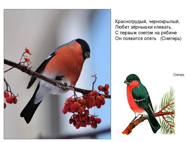 Красногрудый, чернокрылый, Любит зёрнышки клевать, С первым снегом на рябине Он появится опять  (Снегирь)
