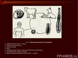 Рис. 1.Биология развития Е. granulosus: 1 - дефинитивный хозяин - собака; 2 - E