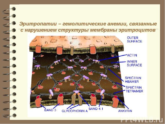 Эритропатии – гемолитические анемии, связанные с нарушением структуры мембраны эритроцитов