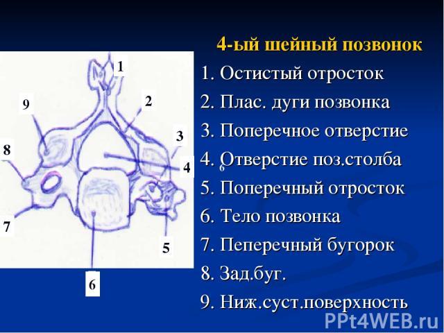 4-ый шейный позвонок 1. Остистый отросток 2. Плас. дуги позвонка 3. Поперечное отверстие 4. Отверстие поз.столба 5. Поперечный отросток 6. Тело позвонка 7. Пеперечный бугорок 8. Зад.буг. 9. Ниж.суст.поверхность 6 1 2 3 4 5 6 7 8 9