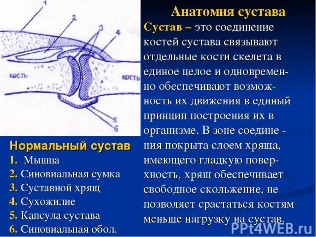 Нормальный сустав 1. Мышца 2. Синовиальная сумка 3. Суставной хрящ 4. Сухожилие 5. Капсула сустава 6. Синовиальная обол. Анатомия сустава Сустав – это соединение костей сустава связывают отдельные кости скелета в единое целое и одновремен- но обеспе…